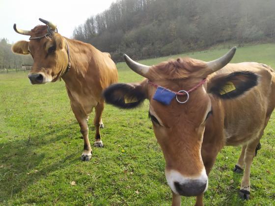 Установен е случай на луда крава в Швейцария