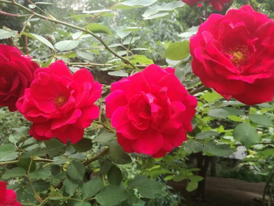 Турция изнесе 60 милиона рози само за свети Валентин