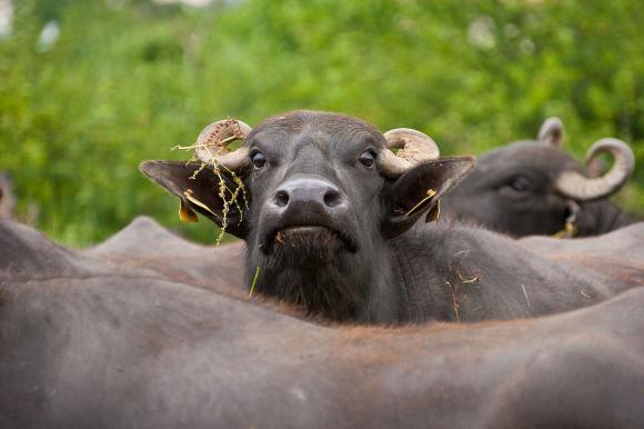 Как ще изглежда обвързаната подкрепа за месодайни говеда, биволи овце и кози през 2020 г.