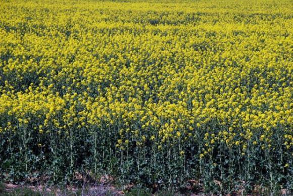 Рапицата от над 800 000 хектара остана неприбрана от нивите в Канада