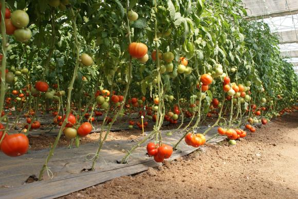 В България не е установена зараза от вируса на кафяво набраздяване по плодовете на доматите (ToBRFV)