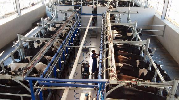 Окрупняването на млекопроизводството в САЩ продължава с пълна сила