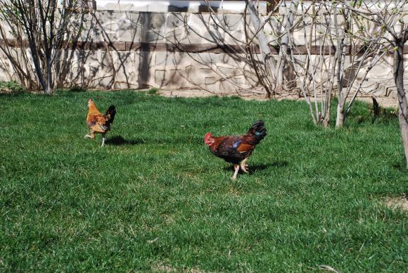 От 10 март започва изплащането на помощта за хуманно отношение към птиците