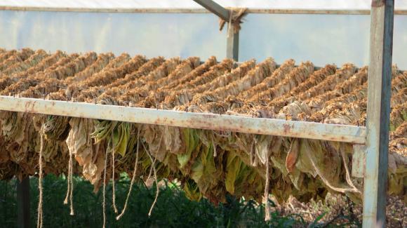 Вписването в регистъра на производителите на тютюн се удължава до 30 април