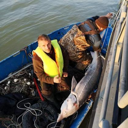 Освободиха 100 килограмова моруна от бракониерски лави