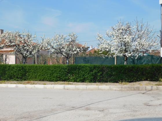 През април овощарите се справят със струпясване и брашнеста мана по ябълките и крушите