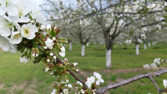 Грижи и профилактика на костилкови овощни видове през април