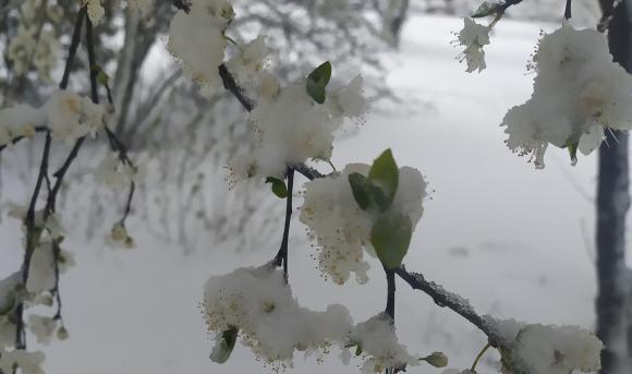Поредни безсънни нощи за овощарите - и на първи април ще вали сняг!