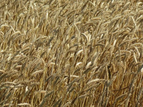 Русия и Украйна ограничават износа на пшеница