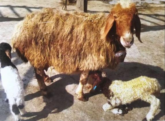 Групите на животновъдите ще колят само собствени животни за пазара