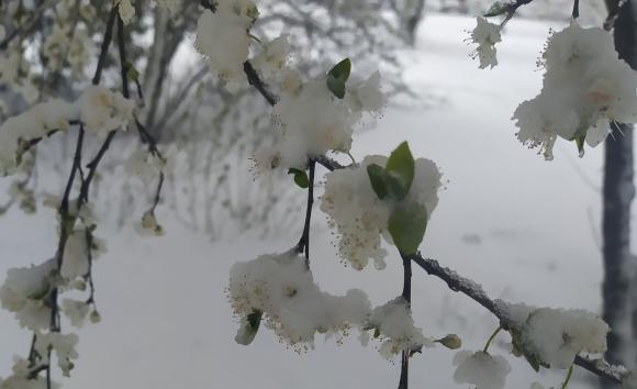 След пролетния сняг овощарите са изправени пред нулева година за плодовете