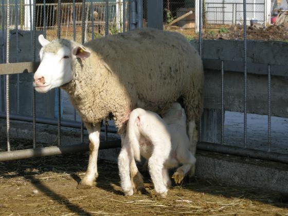 Цените и продажбите на агнешко месо падат навсякъде в Европа