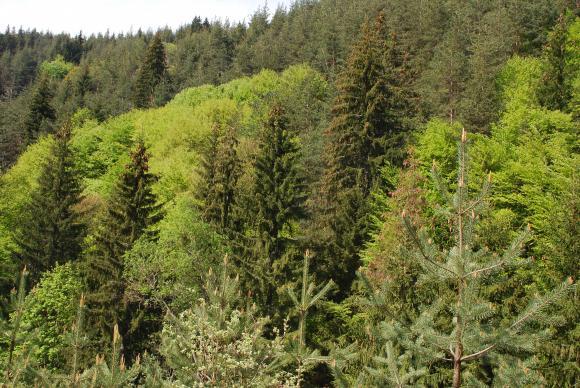 Ръждивата оса като нов вредител на боровите гори