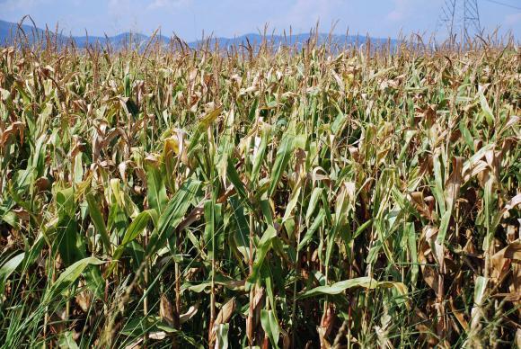 Офертите за зърно на борсата не помръдват втора седмица
