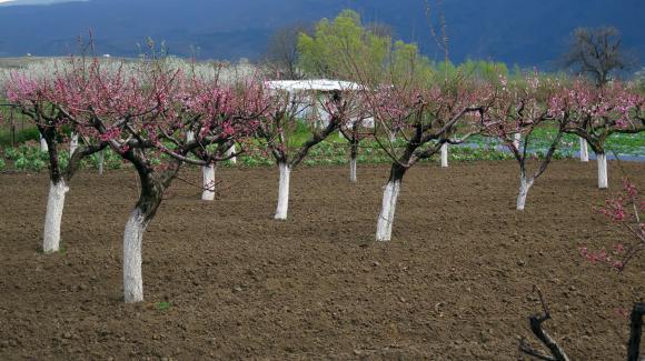 Очертава се непредсказуем сезон за прасковите и нектарините в южната част на ЕС
