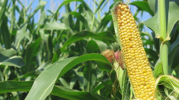 Турция напазарува 155 000 тона царевица по 188,17-193,90 долара за тон