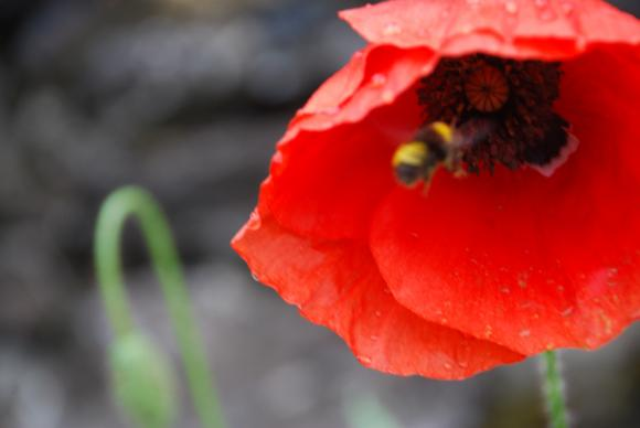 Преди празника на пчелите да припомним кои са медоносните култури