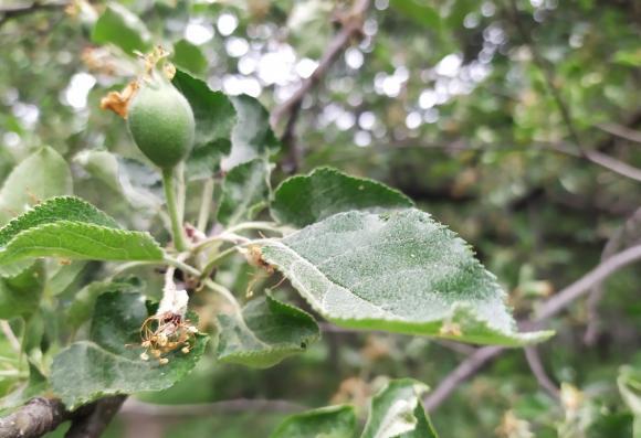 С какво да пръскаме срещу болести и неприятели ябълките и крушите през май