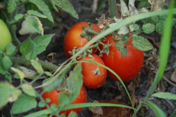 Искате богата доматена реколта – имате я!