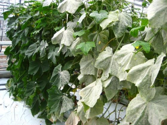 Дагонис® Мултикроп фунгицид за мултизащита в зеленчуци