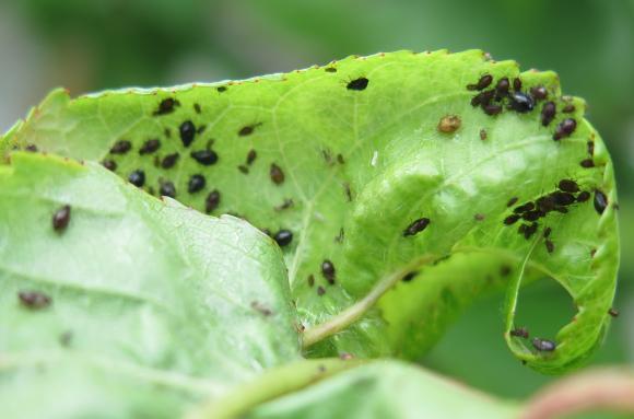 Кога листните въшки стават напаст за овощните?