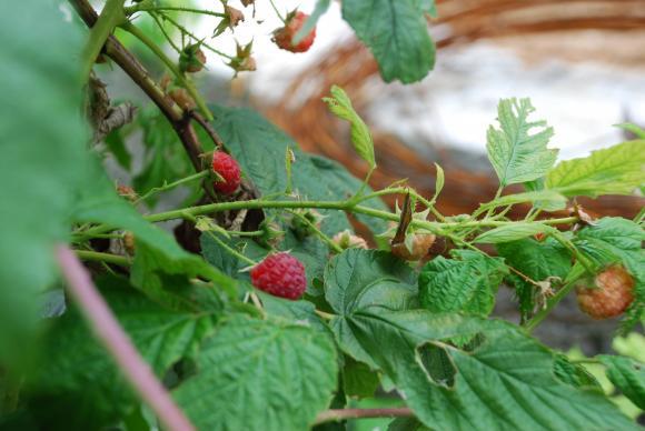 Производителите на малини настояват за вътрешни ревизии срещу схемаджиите