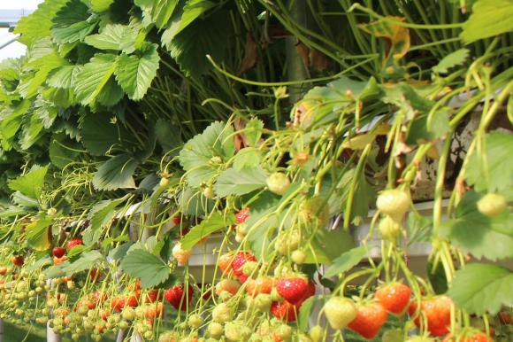 Полски фермери продават ягодите по цени на едро, ако потребителите си ги наберат сами