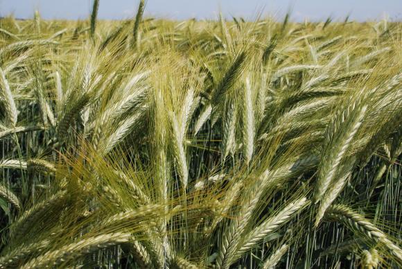 Египет напазарува нови 120 хил. тона руска мелничарска пшеница