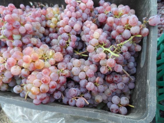 Другата седмица приемат документи да събиране на гроздето на зелено