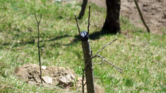 За добрия резултат от присаждането много допринасят последващите грижи за дръвчетата