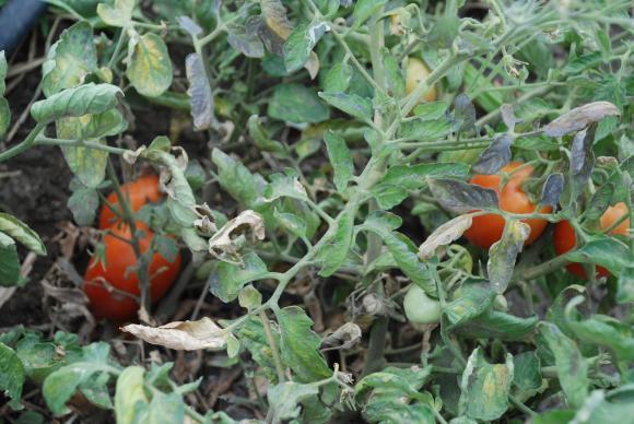 Има начини да се справите с кореново гниене при доматите