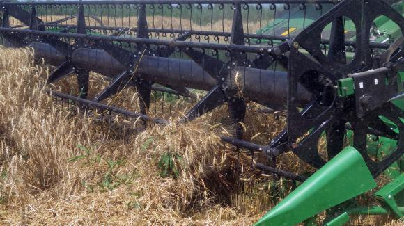Сривът при пшеницата това лято е и като количество, и като качество