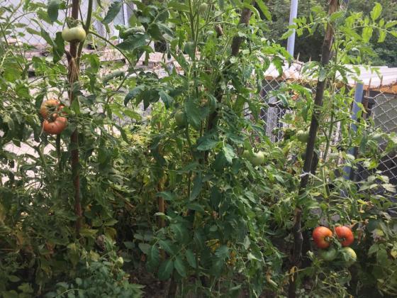След дъждовете как да предпазите доматите от гъбични заболявания