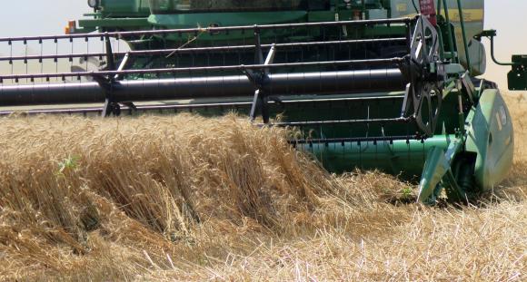 Негативен знак в краткосрочната ценова перспектива на пшеницата