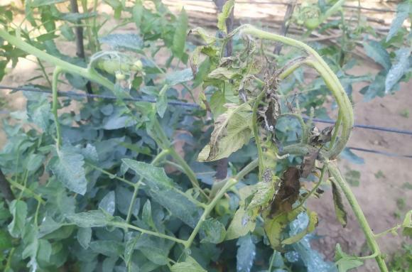 Столбур по доматите може да унищожи реколтата