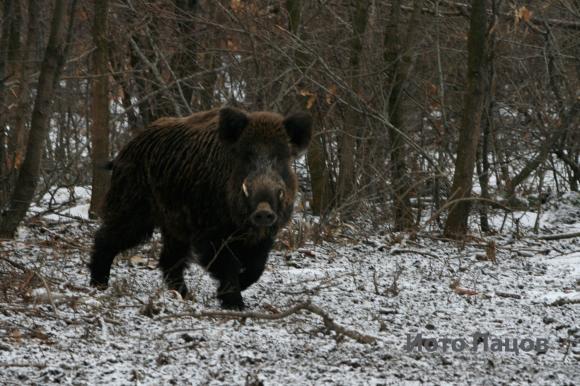 В Кърджалийско задържаха мъж за бракониерски лов на диво прасе