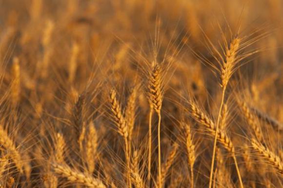 Седмицата не донесе промени в цените на зърното на борсата