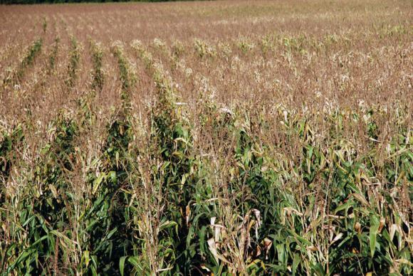 Сърбия е в тройката на вносителите на царевица в ЕС