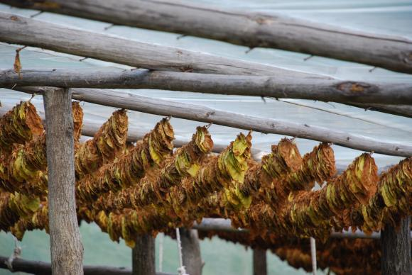 Тютюнопроизводителите също могат да сключват еднодневни договори за берачите