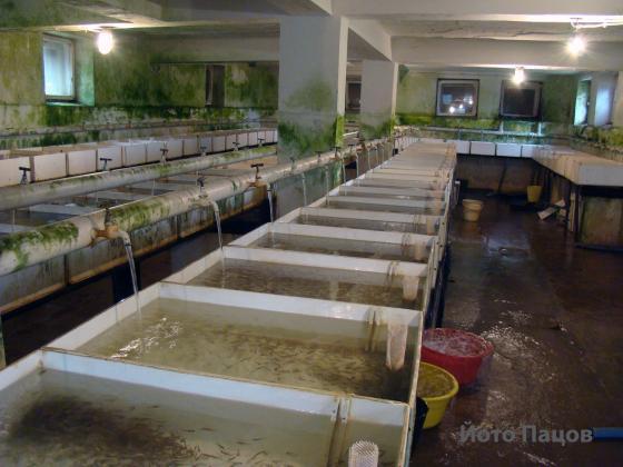 При болести в рибарниците правите карантинен басейн