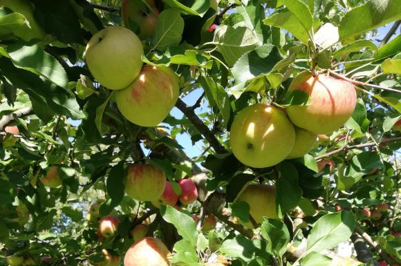 Неприятели по ябълките и крушите през август