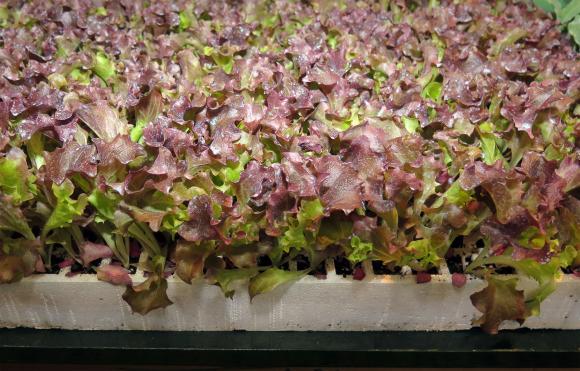 Какви зеленчуци можете да засеете през август