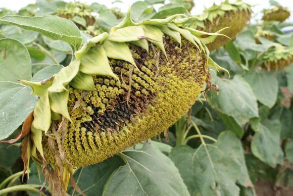 Ценовото рали на пазара за слънчогледово семе и слънчогледово масло в Европа