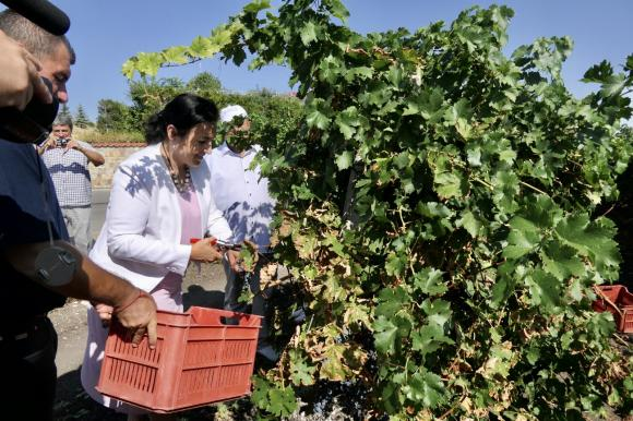 Слаба реколта, но високо качество на гроздето и през 2020 г.