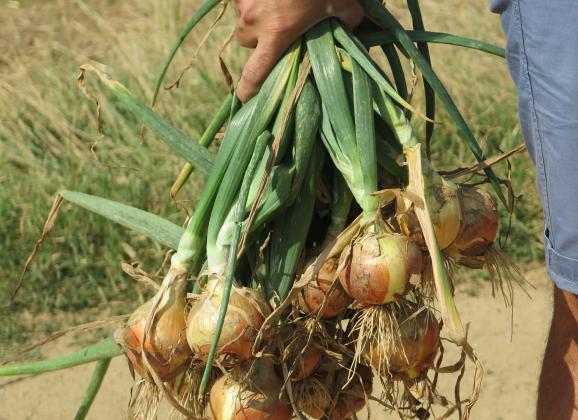 Да си отгледаме воден лук за семе