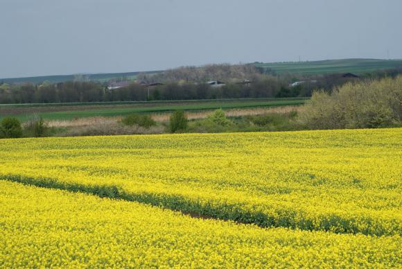 ЕС увеличава вноса на соя и слънчоглед за сметка на рапицата