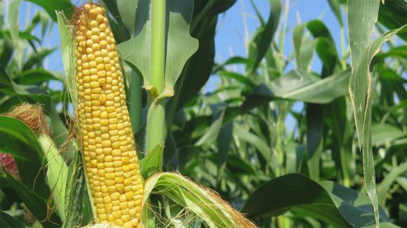 Рязък скок в цените на украинската царевица раздвижи европейските котировки