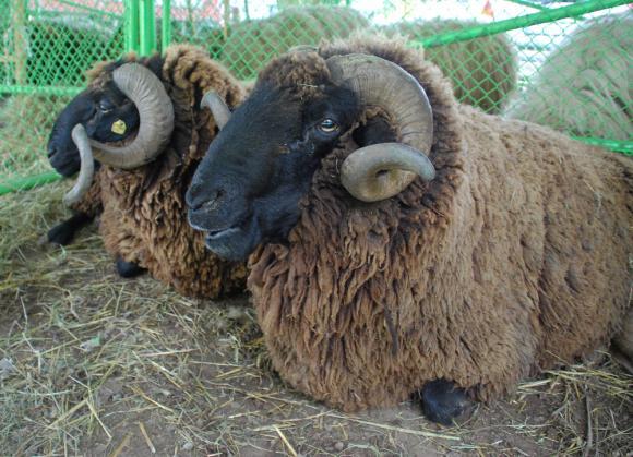 Външните белези на овцете показват продуктивното им направление