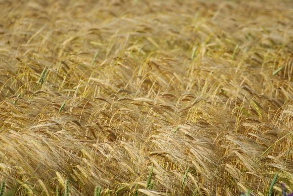 Великобритания приключва жътвата с ниски добиви от рапица и зърно