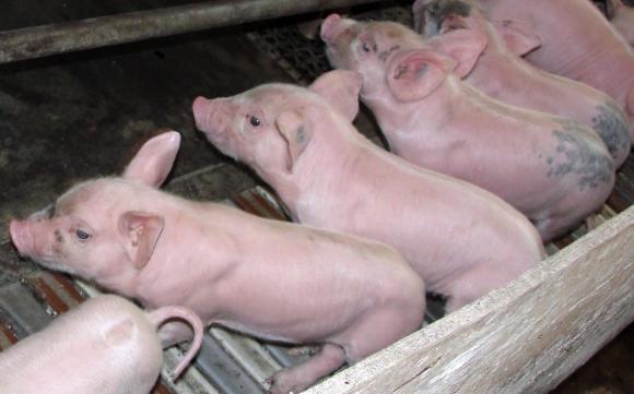 Потвърдиха АЧС във ферма с над 550 прасета в Ловешко